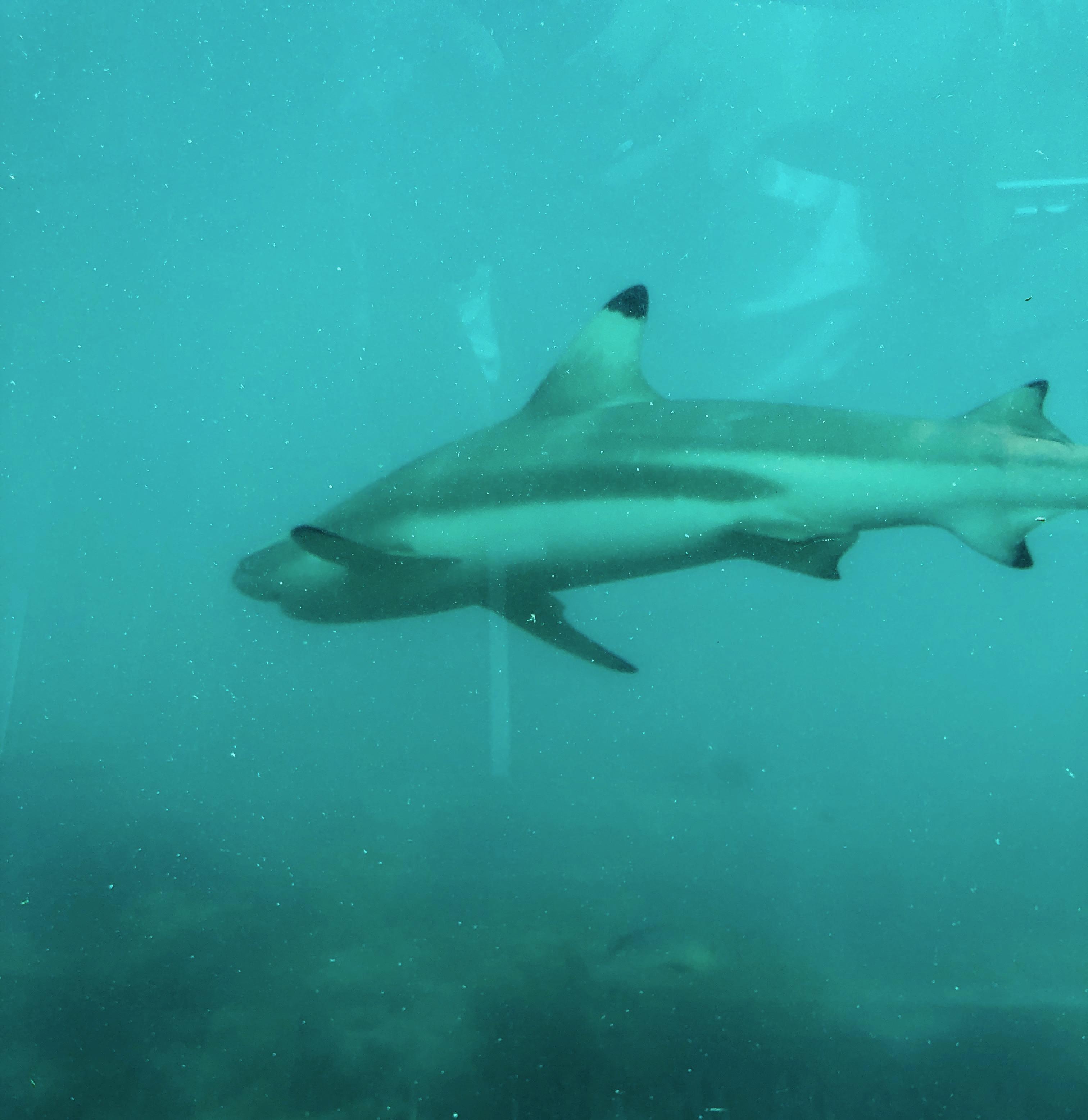 Conrad Maldives Rangali Island Ithaa Undersea Restaurant shark