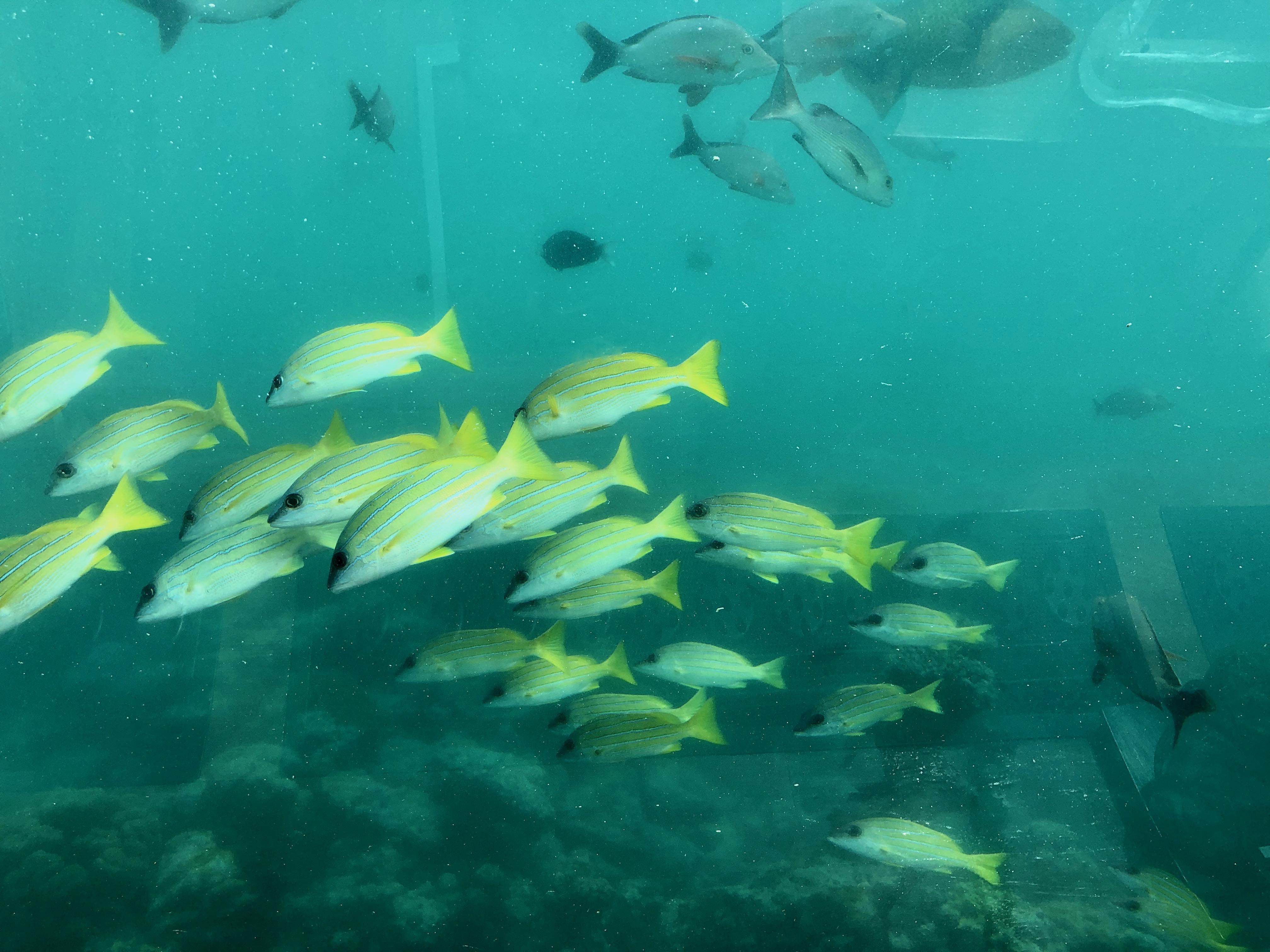 Conrad Maldives Rangali Island Ithaa Undersea Restaurant tropical fish