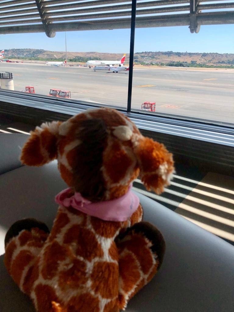 First Class Giraffe watching planes go by