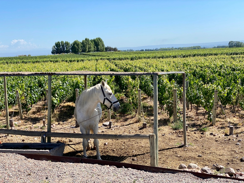 Horses in the vineyard